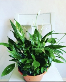 Peace Lily ( Spathiphyllum)